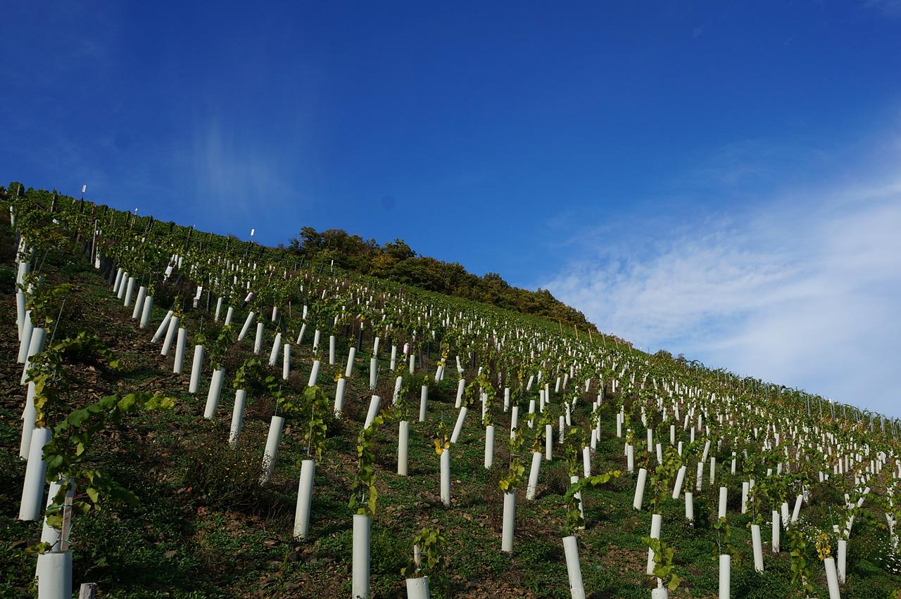 4639_Weinfriedhof