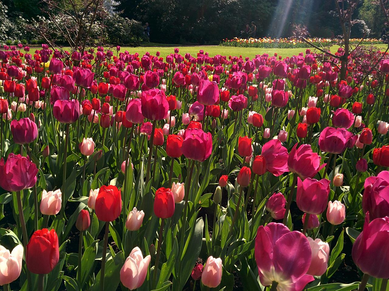 Rosa-Tulpen-IMG_20140420_16