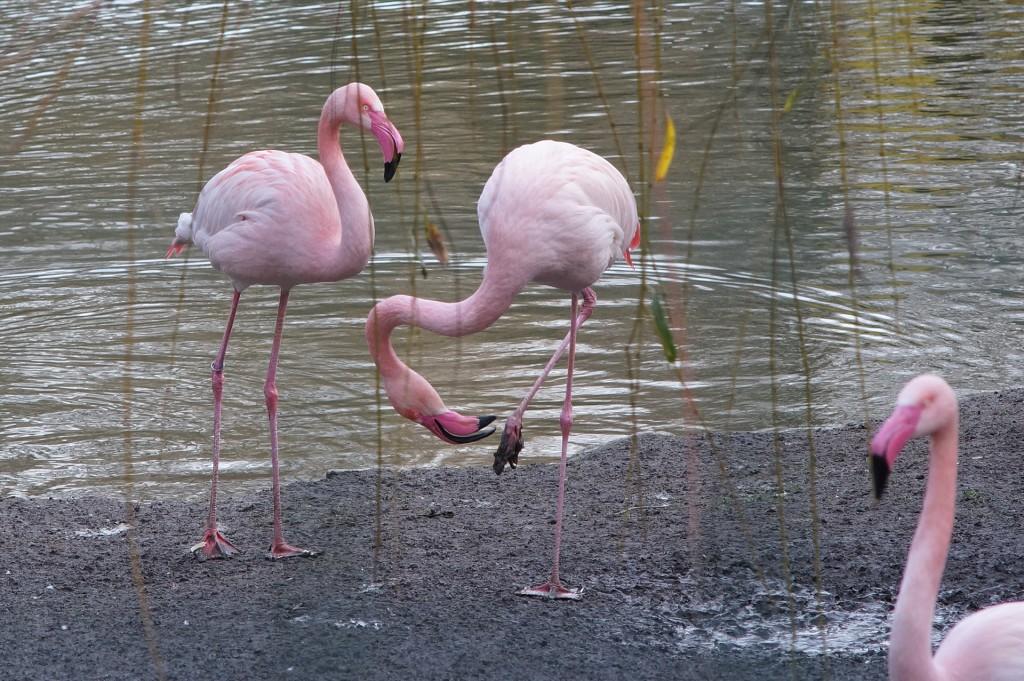Flamingos-66