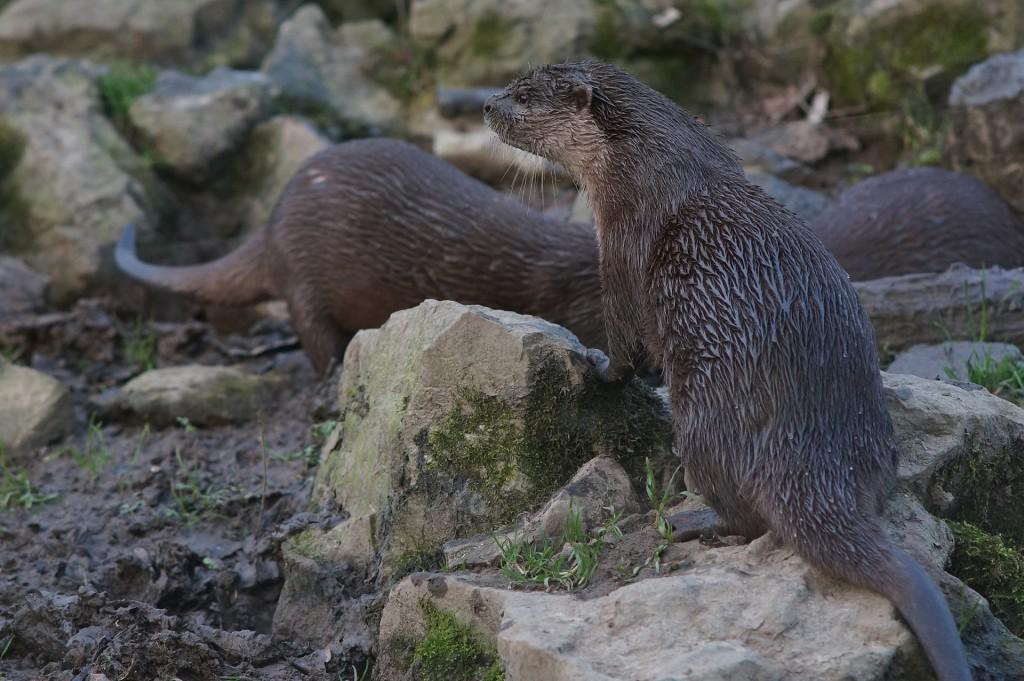 Otter-67