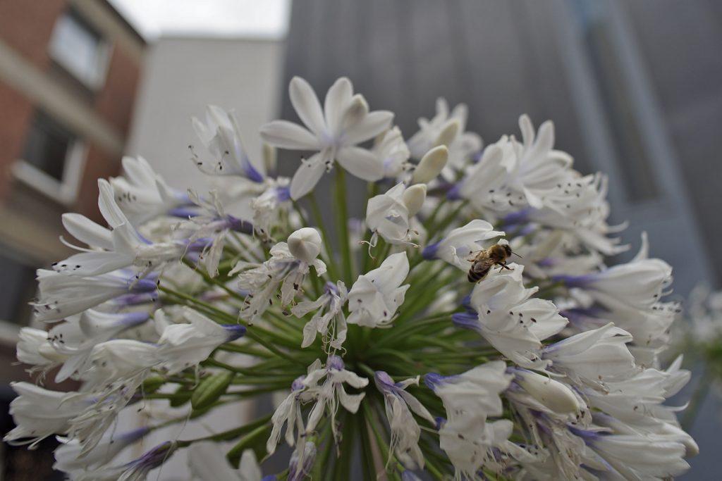 _DSC1617-Weissblumenbiene